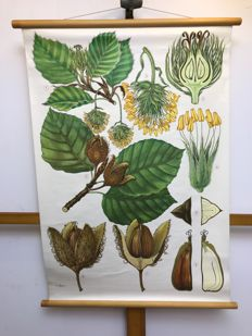 Beautiful old botanical school poster of the haslinger beech