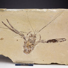 Fossil lobster with wide spread appendices - Pseudastacus sp. - 25 x 13 cm (specimen 15 cm across)