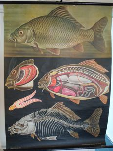 Old zoological school poster Biology Jung Koch Quentell Carp