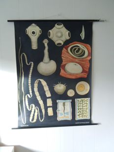 Old zoological school poster Biology Jung Koch Quentell intestinal parasite tapeworm