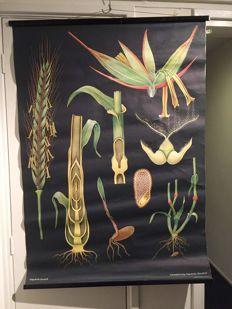 Old Botanical school poster Biology Jung Koch Quentell Rye