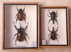 Siamese and Five-horned Rhinoceros Beetles- male/female - Xylotrupes gideon and Eupatorus gracilicornes - 17.5 x 12.5cm and 20 x 15cm  (2)