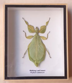 Finely cased Walking Leaf Insect - Phyllium selebicum - 15 x 12.5cm