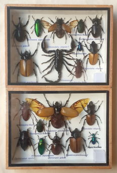 Entemology - fine Insect displays including Scorpion - various species - 20 x 15cm  (2)