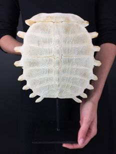 Chinese Softshell Turtle carapace skeleton, with stand - Pelodiscus sinensis - 29.5 x 22 cm