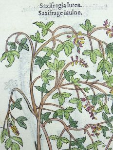 Leonhard Fuchs - Leaf with 2 botanical woodcuts - Rockfoils, Saxifrages [ Saxifragaceae ] ; hand coloured - 1549