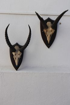 Vintage African Trophies  - Kob Antelope and Mountain Reedbuck - 45 and 26cm  (2)