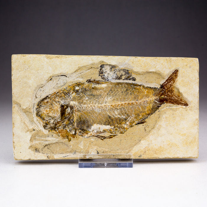 preserving fish specimen Get the preserved specimens or complete dissection kit you need for biology labs learn about animal anatomy: frog, cow eye, worm, fetal pig, and more.