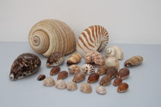 Varied collection of Sea Snail Shells, including Nautilus Pompilius, Tonna galea, with Cypraea, Conus and Harpa - to 18 cm  (26)