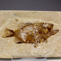 Well defined fossil fish - Stichopteryx sp. - 9,5 x 5,5 cm (specimen 6,5 cm)