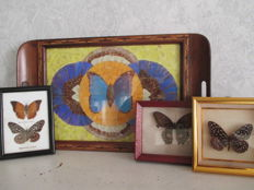 Fascinating Butterfly Wing tray - with trio of single specimen cases - various species - 47 x 28cm and 13 to 17cm  (4)