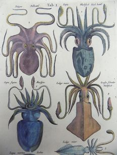 2 x Matthäus Merian ( 1621 –1687) - hand colored copper engraving - Fish: Jellyfish, Octopus, Squid, Cuttlefish, Octopus, Nautilus, Purpura, Strombus, Conch Shells - 1657