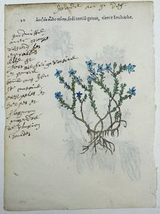 2 botanical prints by Leonhard Fuchs [1501 - 1566] - Stonecrop, [Sedum, Crassulaceae] - With manuscript descriptions - 1549