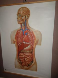 "Old anatomical school poster of ""internal organs"""