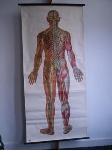 School poster nervous system from the back, Deutsches hygiene Museum, on linen