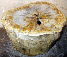 Trunk of petrified wood - 25 x 36 x 33 cm - 50.8 kg