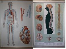 DHM-Lehermittelfabrik + Ernst Klett Verlag - medical school posters of the human blood circulation & of the human brain and spinal cord