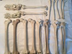 17-piece anatomical models of the skeleton