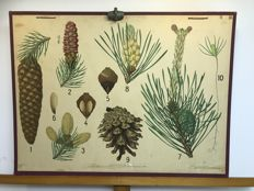 School poster botanical poster fir and pine