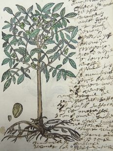 2 botanical prints by Leonhard Fuchs [1501 - 1566] - Walnut Tree [Juglans] ; Marigold {Tagetes] - With extensive manuscript descriptions - 1549