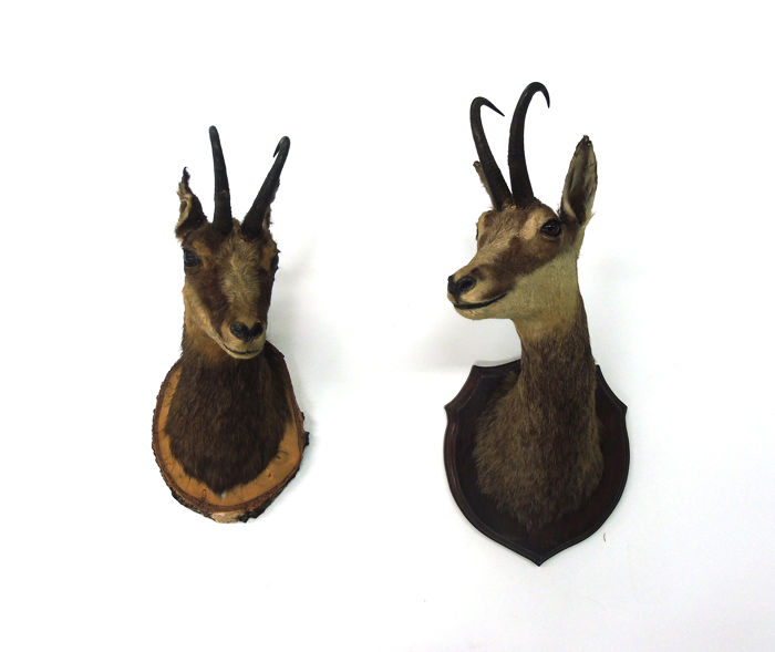 Fine vintage taxidermy - Chamois, on carved wall-plaques - Rupicapra rupicapra - 50 x 40cm and 65 x 40cm  (2)