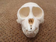 Rhesus Macaque - complete skull, with neat repair - Macaca mulatta - 105 x 70 x 70mm - 66gm