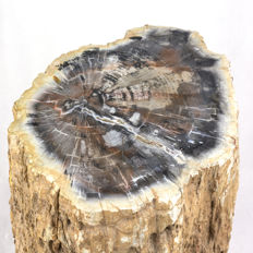 Fossilized wood trunk - size: 33 x 24 x 44 cm - weight: 66 kg