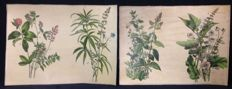 2 antique botanical school pictures on linen of flowers and herbs