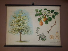 Beautiful botanical school poster of the pear tree