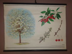 Beautiful botanical school poster of the cherry tree