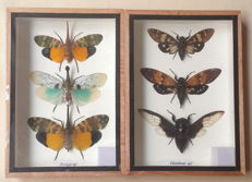 Lantern Fly and Cicada collections - various species - 17.5 x 12.5cm  (2)