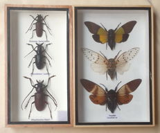 Longhorn Beetles and Cicadas - display cases - 23 x 15cm and 23 x 12.5cm  (2)