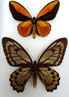Wallace's Golden Birdwing Butterfly - male and female - Ornithoptera croesus lydius - 23 x 30cm