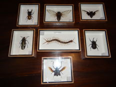 Set of fine display cases with a variety of Exotic Asian Insects - 12.5 x 15cm  (7)