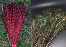 Collection of Indian Peafowl and dyed Pheasant tail feathers - Pavo and Phasianus - 30cm  (130)