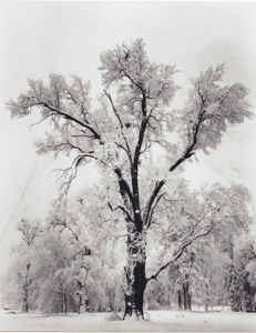 Ansel Adams (1902-1984) - Oaktree, snowstorm, California, 1948
