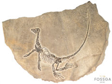 Strikingly perfect fossil of a Permian Diapsid Reptile - Claudiosaurus germaini - 65 x 46 cm - 12 kg
