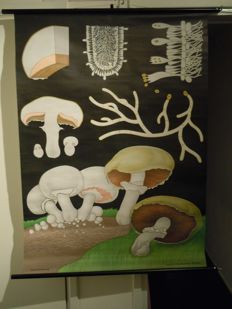 Old Botanical school poster Biology Jung Koch Quentell Mushroom