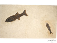 "Fine, highly decorative Fossil matrix plate, bearing well-defined Mioplosus and Knightia ""Fishes"" - 69 x 41 cm - 7 kg"
