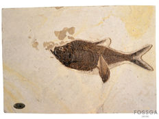 Large and eye-catching Matrix plate, with Fossil Diplomystus Fishes, one overlaid the other - 69 x 49 cm - 7 kg