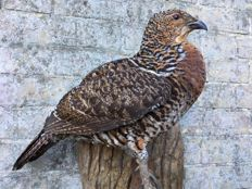 Taxidermy - adult hen Capercaillie, wall-mount - Tetrao urogallus - 59cm - 2940gm