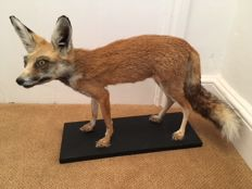 Taxidermy - adult African Ruppell's Fox - Vulpes rueppelli - 41 x 50cm - 2560gm