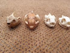 Taxidermy - Turtle skulls - various species - 45 to 65mm - 31gm  (4)
