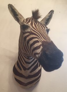Fine taxidermy - Plains Zebra head-mount, left turn - Equus quagga - 75 cm - 5.7 kg