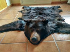 Fine and perfect American Black Bear skin with fully mounted head, felt-lined - Ursus americanus - 1.75 x 1.55m - A10 No. ES-LC-00579/15C