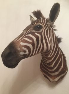 Fine taxidermy - Plains Zebra head-mount, right turn - Equus quagga - 74 cm - 4.8 kg