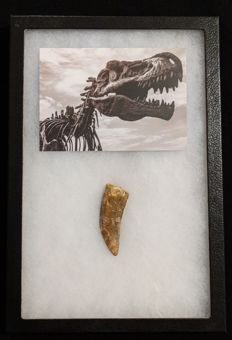 Large high quality Charcharodontosaurus tooth in box - 73 mm