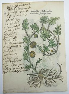 2 botanical prints by Leonhard Fuchs [1501 - 1566] - Squash [Curcubita]; Bitter Apple [Coloquinte] - With manuscript descriptions - 1549