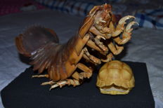 Taxidermy - preserved Giant Isopod - Bathynomus giganteus - 32 x 11 x 10cm