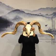 Large and complete Goat skull, with long, curved horns - Caprinae sp. - 85cm - 5kg
